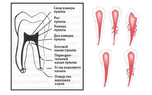 Пульпа зуба – состав, строение и функции пульпы