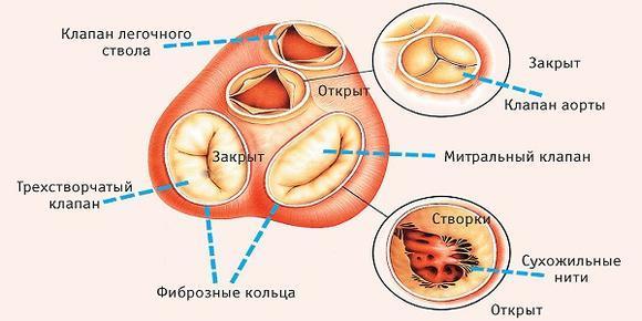 Замена клапана сердца – как проходит операция по протезированию митрального клапана сердца?