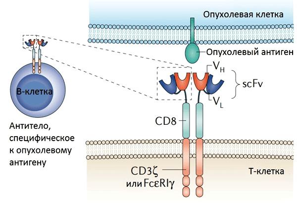 ips клетки - перепрограммирование клеток в лечении опухолей, паралича, рака и других заболеваний